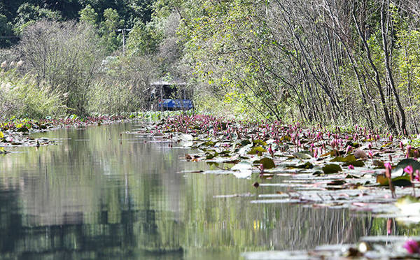 Vẻ đẹp nên thơ thường thấy trên dòng suối Yến mỗi độ hoa súng nở - Ảnh: Bá Quỳnh