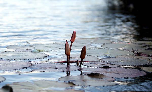 Thấp thoáng những nụ hoa súng ngoi lên mặt nước trên dòng suối Yến - Ảnh: Bá Quỳnh