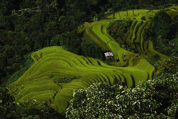 Những người phụ nữ dân tộc Dao làm việc trên cánh đồng lúa ở Hoàng Su Phì, Hà Giang.