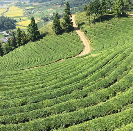 Boseong là một khu vực miền núi thuộc tỉnh Nam Jeolla, Hàn Quốc và trở nên nổi tiếng với du khách nhờ những cánh đồng trà xanh bất tận.