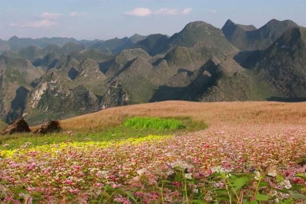 Hoa tam giác mạch bung nở thật đẹp và thơ mộng - Ảnh: Huyền Thương/Boredpanda