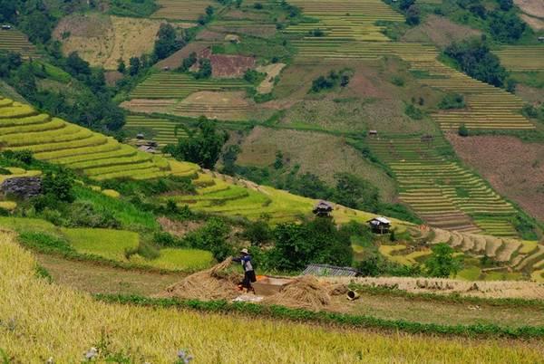 """So với Lào Cai, Yên Bái... tháng 11 mới chính thức là """"mùa vàng"""" ruộng bậc thang ở Chiềng Ân."""