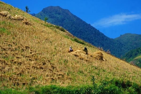 Hình ảnh người Mông trên những thửa ruộng bậc thang ở Chiềng Ân trong mùa gặt thu hoạch lúa.