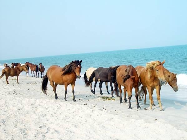Maryland: Hòn đảo này nổi tiếng với những chú ngựa hoang. Tương truyền, chúng tới đây từ một vụ đắm tàu gần đảo và phát triển mạnh dù trên đảo khá hoang vu, khô cằn.