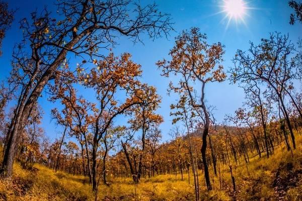 Màu rừng đặc trưng vào mùa khô của rừng quốc gia Yok Đôn – Ảnh: Hữu Thành