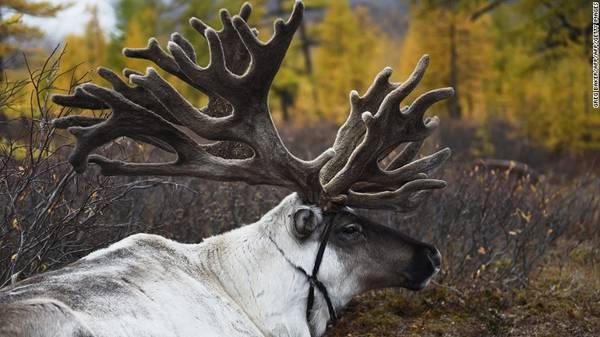 Tuần lộc có vai trò quan trọng trong các truyền thống theo Saman giáo của người Dukha. Tuần lộc trắng được coi là con vật linh thiêng.
