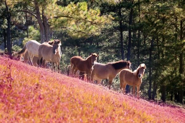 Cỏ hồng là loài hoa dại, thường mọc thành từng cụm và tập trung ở một vài nơi ở Đà Lạt. Bạn sẽ dễ dàng hoá thân thành một thiên thần nhỏ khi đứng trước vẻ đẹp mỏng manh của cánh đồng cỏ này.