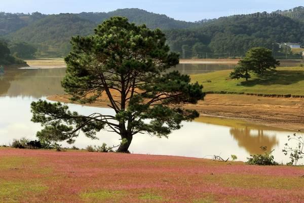 Cỏ hồng còn mọc ven bờ suối Vàng, tạo thành thảm hồng điểm tô trên sắc xanh đồi núi.