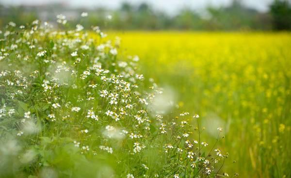 Ngoài ra còn có cả hoa xuyến chi mọc xen lẫn, khá hấp dẫn các cô gái.