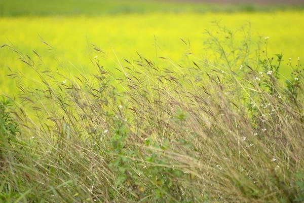 Những vạt cỏ lau đung đưa trong gió.