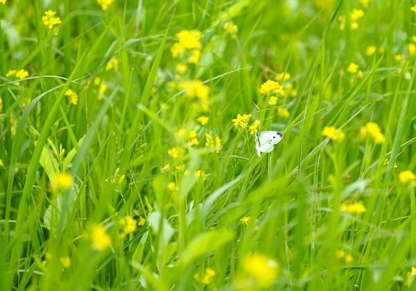 Thỉnh thoảng có những cánh bướm bay lượn tạo thêm vẻ đẹp cho cánh đồng ven đô.