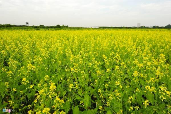Cánh đồng hoa cải vàng gần địa phận xã Trâu Quỳ, huyện Gia Lâm đã nở rộ.