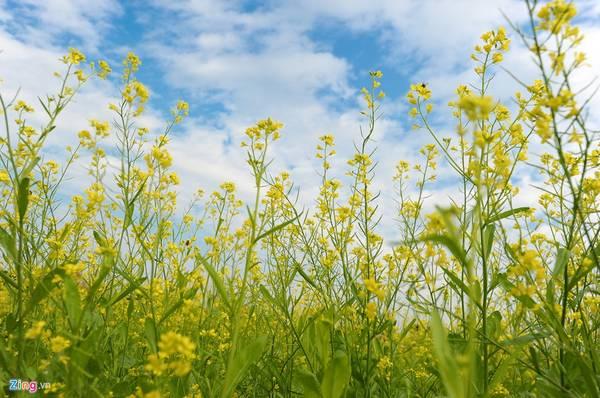 Thông thường, cải chỉ nở rộ trong khoảng 20 ngày. Tháng 12 là thời điểm hoa đẹp nhất.