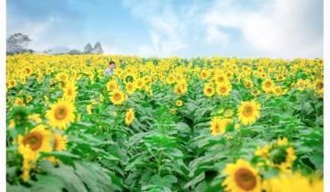 Nhung-mua-hoa-ruc-ro-trong-thang-12-ivivu-9