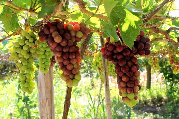 Trên đường đến Vĩnh Hy, hãy dừng chân ở vườn nho Thái An để tự tay hái và thưởng thức những quả nho tươi ngon lành.
