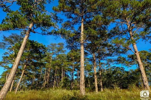 Hai bên bờ có những cánh rừng thông xanh mướt.
