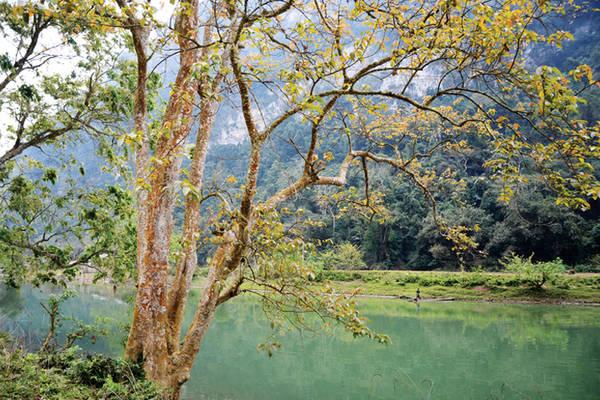 Những tán cây cổ thụ lá ngả sắc vàng