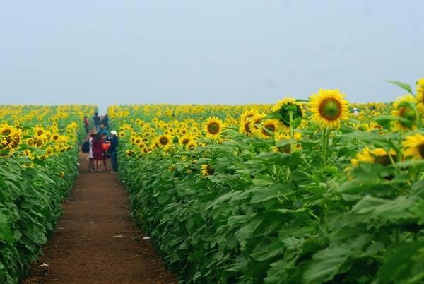 Nông trại trồng hoa với mục đích cung cấp nguyên liệu chăn nuôi là chủ yếu, nhưng để phục vụ du khách, những luống hoa ở đây đều được trồng rất đẹp mắt với hàng lối thẳng tắp.