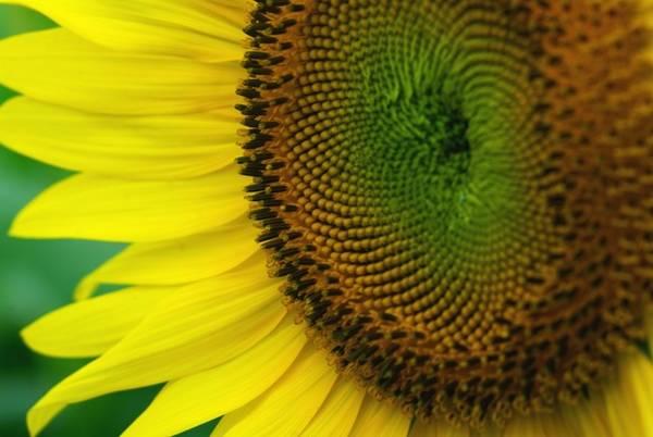 """Những """"cánh hoa mặt trời"""" là biểu tượng cho niềm lạc quan, hy vọng nên dù có trong những ngày đông rét buốt xám xịt, Nghĩa Đàn vẫn rực sáng bởi hàng triệu bông hướng dương khoe sắc."""