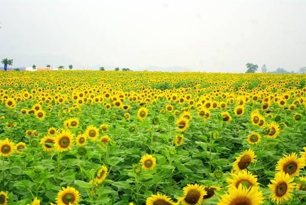 Màu vàng của cánh đồng hướng dương trải dài từ quả đồi này đến quả đồi khác, như là vô tận đến cuối chân trời.