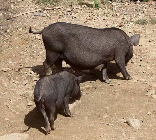 Giống heo Kiềng Sắt thịt thơm ngon là vật nuôi của đồng bào dân tộc Kor ở thôn Quế. Giống heo này đang được tỉnh Quảng Ngãi xây dựng đề án bảo tồn gen - Ảnh: V.Q.Cầu
