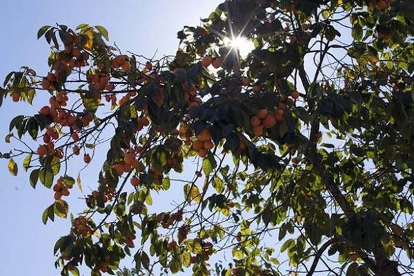 Những cành hồng trĩu trái trong nắng đầu đông - Ảnh: Trân Duy