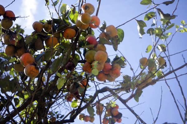 Hồng trong vườn cây dọc theo đèo Pren - Ảnh: Trân Duy