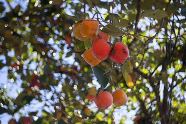 Hồng vuông, loại dùng ép làm hồng khô cuối mùa - Ảnh: Trân Duy