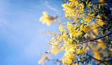 da-lat-mua-hoa-mimosa-ivivu-1
