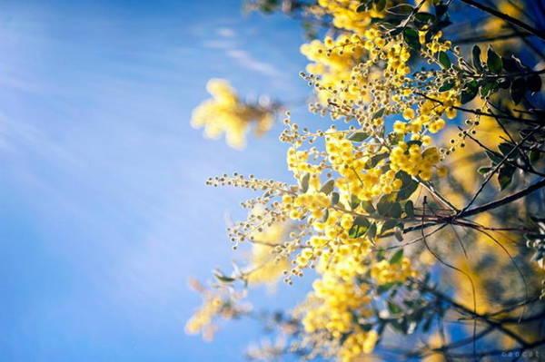Sắc vàng mimosa in trên nền trời xanh - Ảnh: Cao Cat