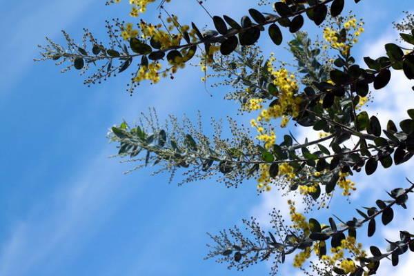 Hoa và nụ mimosa - Ảnh: Trân Duy
