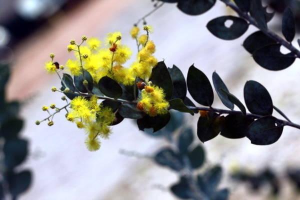Những bông hoa như một cục bông với hàng trăm cánh nhỏ li ti - Ảnh: Trân Duy