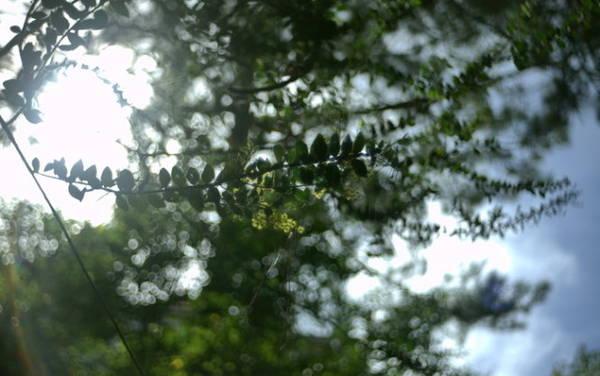 Mimosa trong ngày đông lạnh - Ảnh: Trân Duy