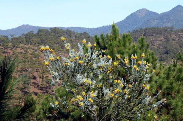 Mimosa, loài cây lá bạc hoa vàng mọc hoang tô điểm cho núi rừng - Ảnh: Trân Duy