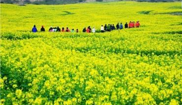 Hoa cải: Ở Hàn Quốc, mùa xuân đến sớm nhất tại đảo Jeju. Cứ vào cuối tháng 2, cảnh quan Jeju lại được điểm xuyết bởi màu vàng tươi của những bông hoa cải dầu đang độ nở rộ. Đến thời điểm lễ hội hoa cải Jeju diễn ra vào tháng 4, toàn bộ hòn đảo tràn ngập sắc hoa vàng rực rỡ và nở rộ xuyên suốt mùa xuân. Ảnh: Koreatravel