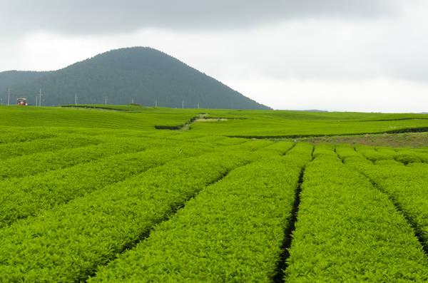 <strong>Bảo tàng trà xanh O'Sulloc:</strong> Bảo tàng trà xanh O'Sulloc là nơi bạn có thể tìm hiểu một cách đầy đủ nhất về văn hóa trà Hàn Quốc. Tới đây, ngoài việc tha hồ chụp ảnh bên cánh đồng trà trải dài bất tận, du khách còn được tìm hiểu cách hái trà cũng như các công đoạn chế biến ra món đồ uống được yêu thích này. Ảnh: Mike Williams