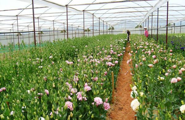 Làng hoa Thái Phiên. Ảnh: dulichdalatnhatrang.com