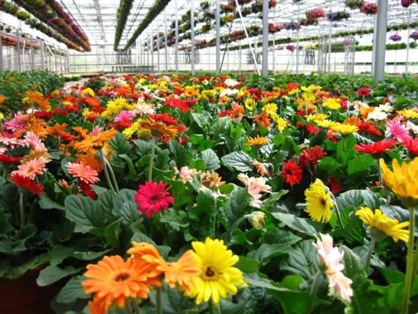 Những đóa hoa đang đua nhau khoe sắc ở làng hoa Vạn Thành. Ảnh: nld.com