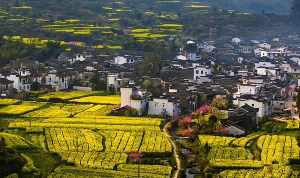 Bên cạnh màu hoa cải vàng rực, Wuyuan còn được tô điểm bởi những cành đào hồng và những hàng cây, bụi cỏ xanh ngắt tuyệt đẹp. Ảnh: easytourchina.com