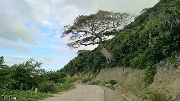 Không khó để bắt gặp những cây cổ thụ có thân to lớn vươn ra giữa đường, khiến cho những ai đi ngang đều không khỏi thích thú.