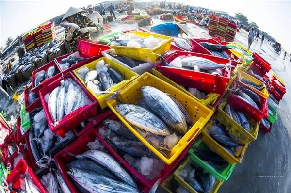 Ước tính có khoảng 500 người thuộc mọi lứa tuổi, giới tính làm việc tại cảng cá Long Hải mỗi ngày. (Ảnh: Nguyễn Vũ Phước)