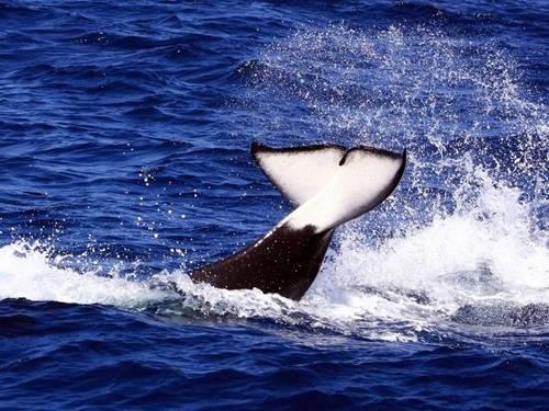 Khi nào đến mùa xem cá voi ở San Diego (Mỹ)?  Từ tháng 12 đến tháng 4, bạn có thể xem cá voi xám Thái Bình Dương di cư từ Alaska đến Mexico, còn tháng 5 đến tháng 11 là mùa di cư của cá voi xanh lớn.