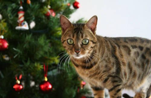 Theo văn hóa dân gian của vùng nông thôn Iceland, mèo Yule là một con quái vật đội lốt mèo chuyên đi ẩn nấp và theo dõi con người. Vào đêm Giáng sinh, nếu ai không được nhận quần áo mới thì sẽ bị mèo Yule tấn công và ăn thịt. Ảnh: Rosana Prada