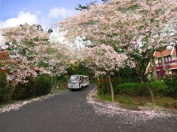 Mỗi khi xuân về, vào khoảng tháng 1 rừng hoa đỗ mai tại Long Hải, Phước Hải (thuộc huyện Đất Đỏ, tỉnh Bà Rịa – Vũng Tàu) lại bắt đầu nở rộ. Ảnh: Kienthuc