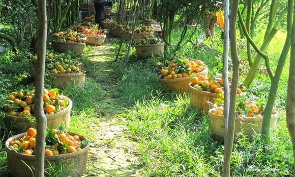 Quýt hồng và nem là hai đặc sản nổi tiếng của xứ Lai Vung. Giáp Tết âm lịch, nhà vườn rộn ràng thu hoạch những vườn quýt sai trĩu quả. Được nuôi dưỡng bằng dòng phù sa sông Hậu, quýt Lai Vung căng mọng, sáng bóng, vừa ngọt vừa thơm.