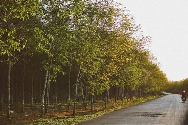 Trên đường di chuyển đến huyện Xuyên Mộc, bạn sẽ bắt gặp nhiều đoạn đường trồng cao su. Ảnh: Nhi Hà Trần