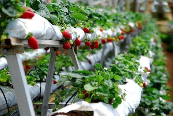 Là một trong những vùng đất hiếm hoi ở Malaysia trồng được dâu tây, các nông trại ở đây là nơi cung cấp dâu tây cho các tỉnh, thành phố ở Malaysia. Ảnh:getaways-guide.groupon.my