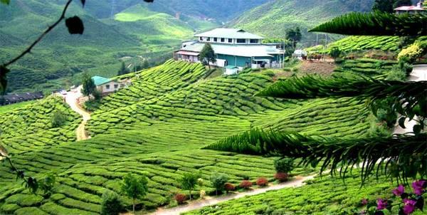 Cao nguyênCameron là một huyện thuộc tỉnh Pahang, nằm ở độ cao 1.500m và cách thủ đô Kuala Lumpur hơn 4 tiếng xe buýt. Ảnh:cameronhighlandsinfo.com