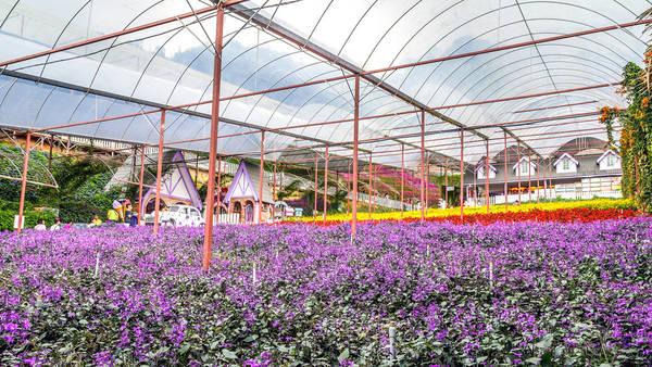 Ngoài những đồn điền chè và dâu, các trang trại trồng hoa nhiều màu sắc thìvườn oải hương Lavender Garden là một điểm đến không kém phần hấp dẫn củaCameron. Ảnh:flickr.com