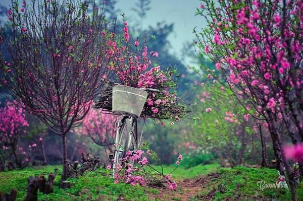 Hoa đào nở rực rỡ trong ngày Tết ở Hà Nội. Ảnh: Cao Anh Tuấn